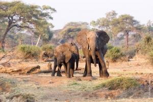 Eléphants, Botswana