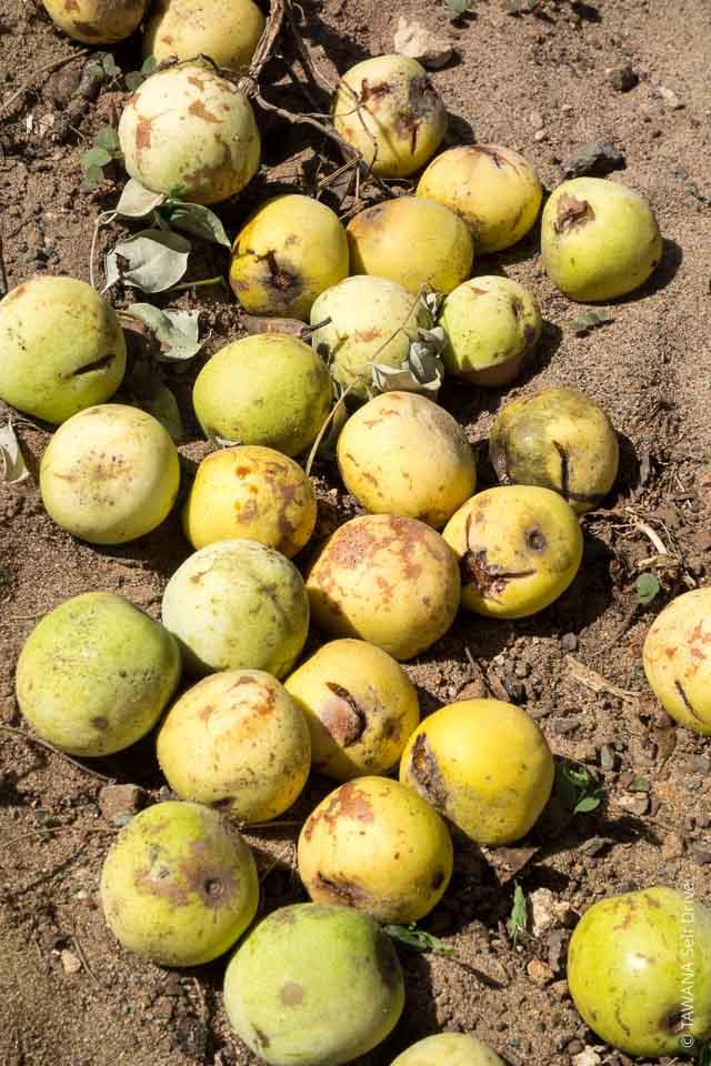 Fruits du marula