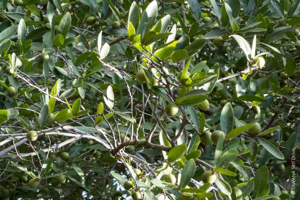 Fruit du waterberry tree