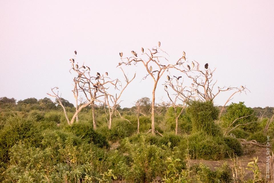 Colonie de marabouts au parc de Chobe