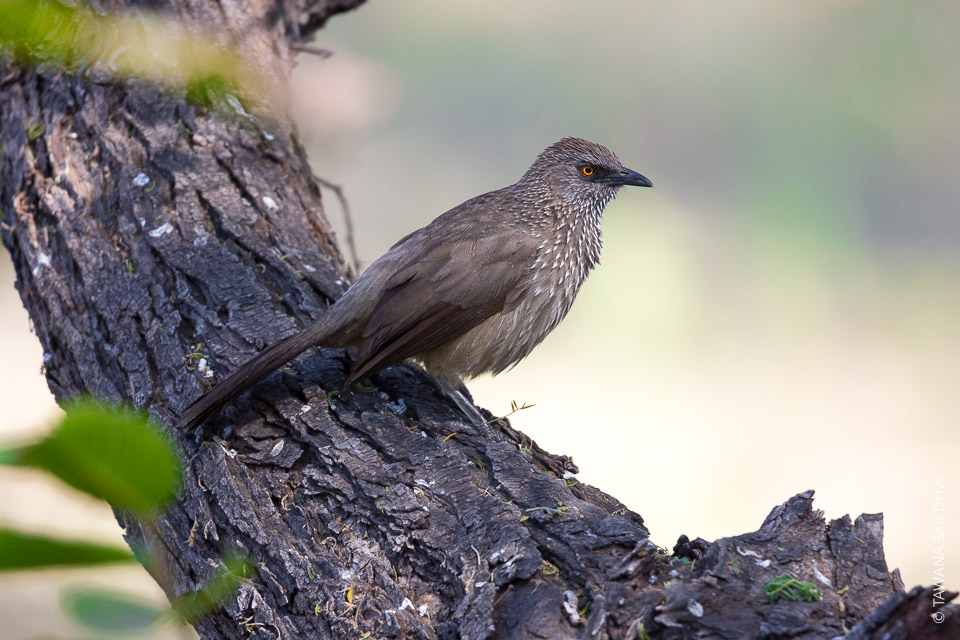 Cratérope fléchéArrow-marked babbler