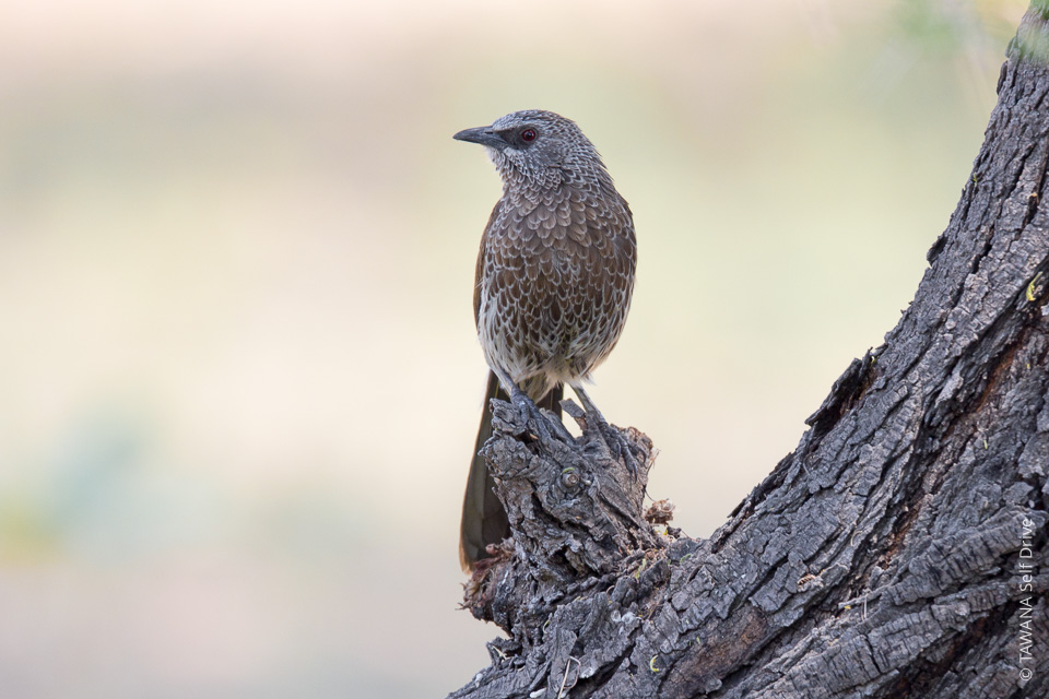 Cratérope masquéBlack-faced babbler