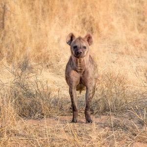 Hyène au Chobe River Front