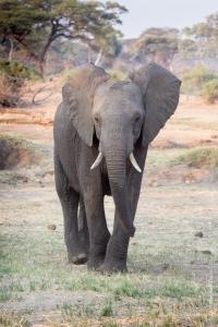 On compte 1 éléphant pour 14 habitants