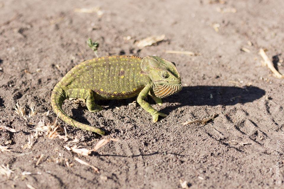 caméléon au botswana