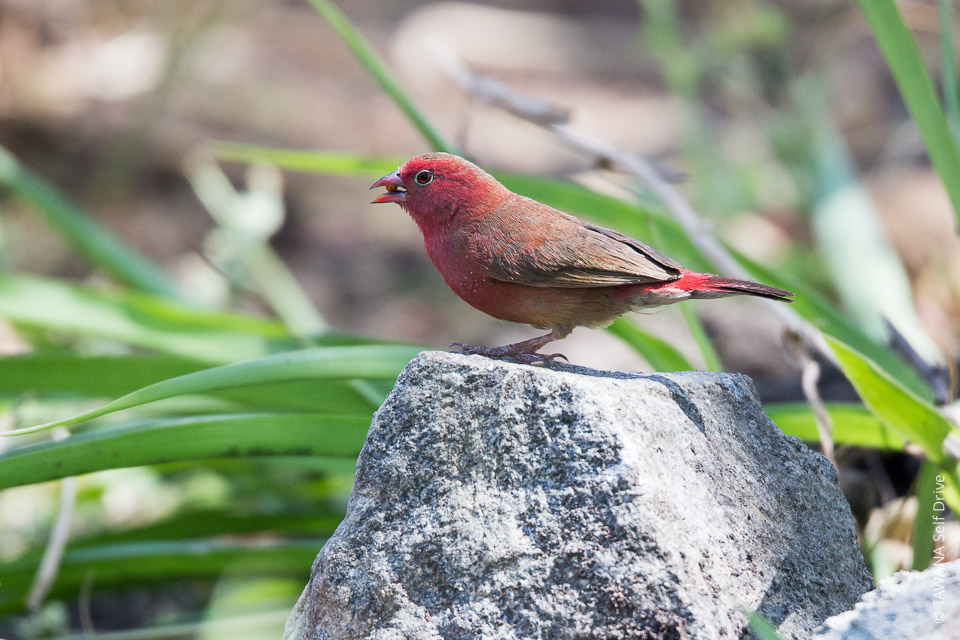 Amarante du SénégalRed-billrd firefinch