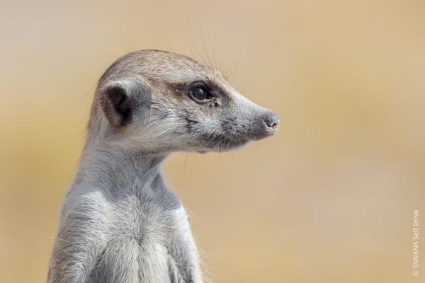 Suricate dans les pans de Makgadikgadi