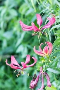 Flame lily à Chobe