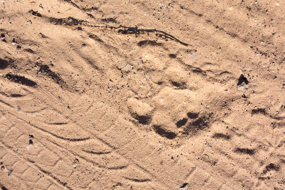 Lions à Kazungula