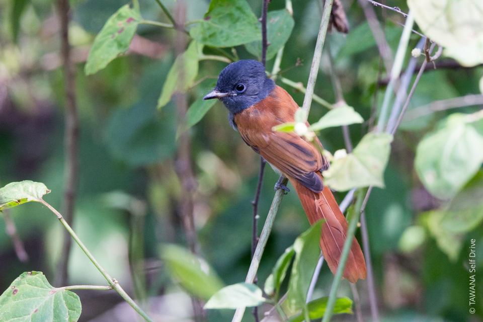 Oiseaux migrateur du Botswana