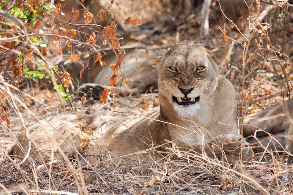 Kafue en self drive : Lions