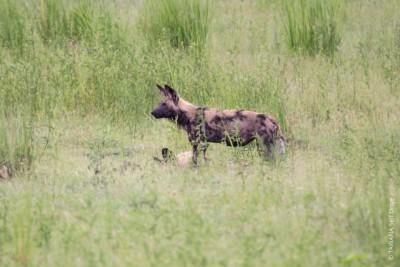 Animaux du Botswana : lycaon