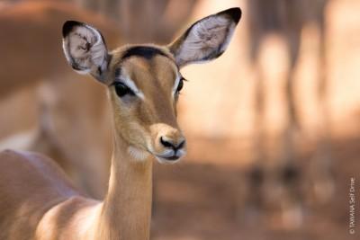Animaux du Botswana : impala