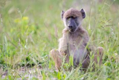 Animaux du Botswana : babouin