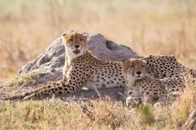 Animaux du Botswana : guépard