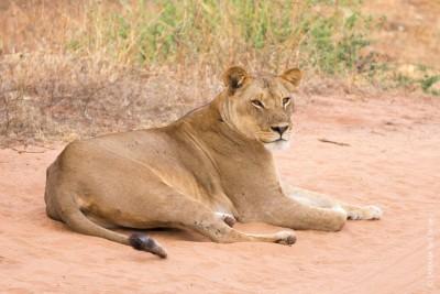 Animaux du Botswana : lion