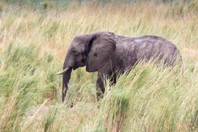 Animaux du Botswana : éléphants