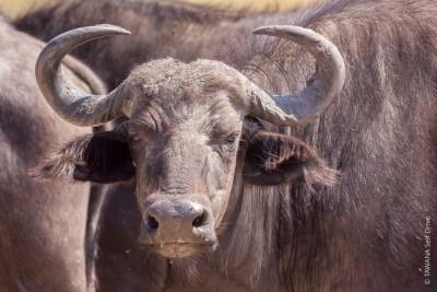 Safari Big Five au Botswana : le buffle