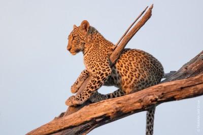 Animaux du Botswana : léopard