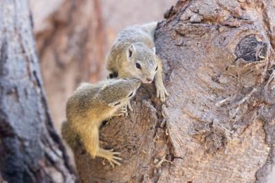 écureuil de brousse