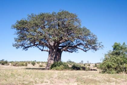 Baobab de Chobe au début de la saison des pluies