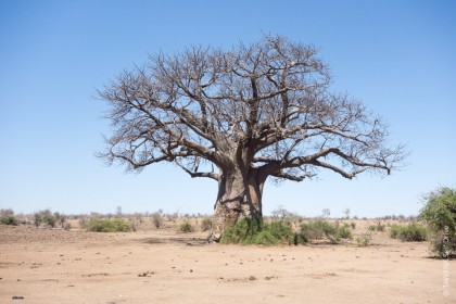 Baobab de Chobe en saison sèche