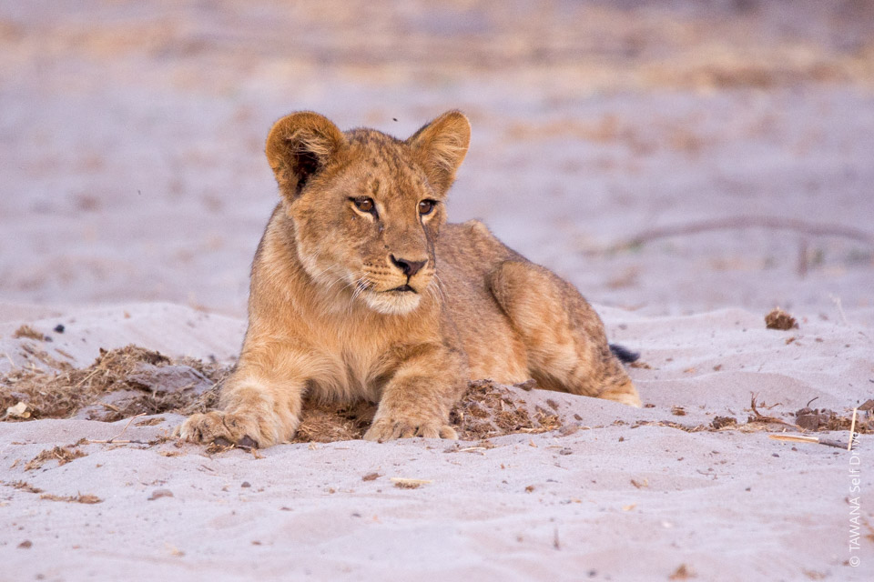 4x4 self-drive itinerary Botswana: lion of Chobe