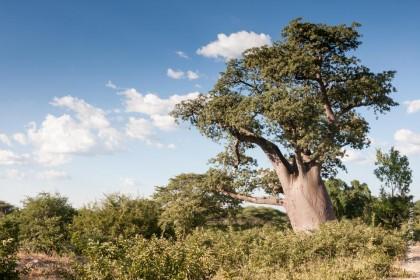 Baobabs au Botswana