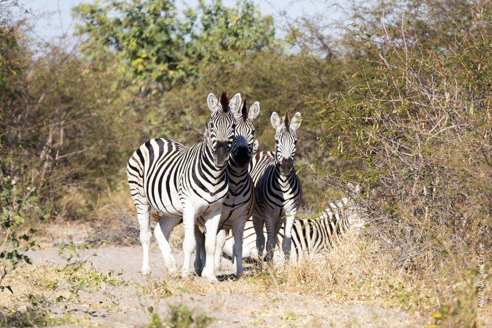 Self-drive safari in the Kalahari: Boteti River