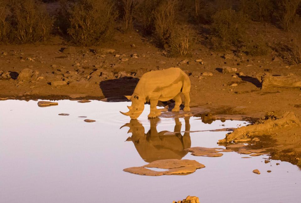 Itinéraire self drive en Namibie : rhinocéros noir à Etosha