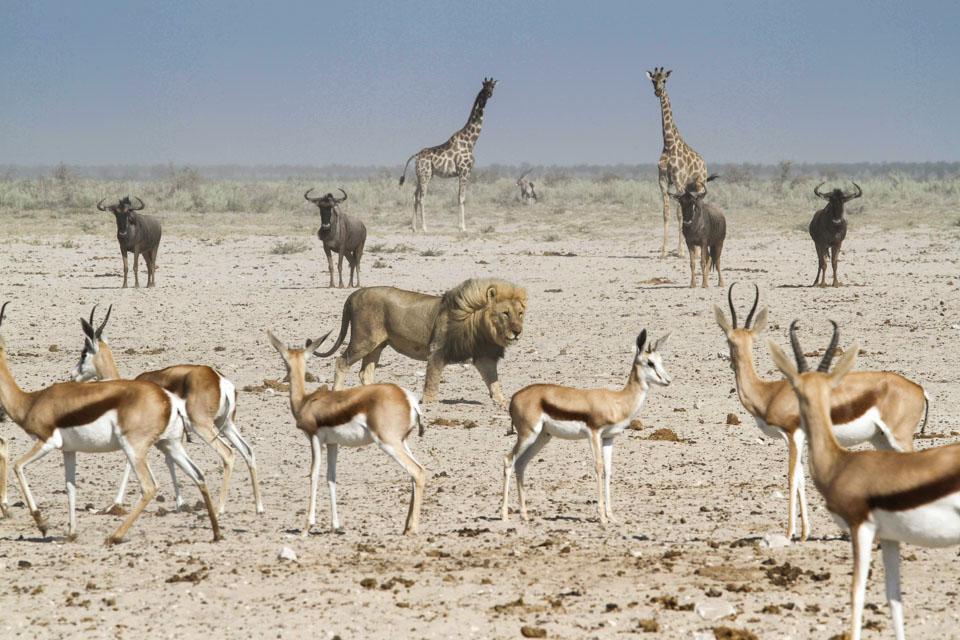 Itinéraire self drive en Namibie : lion à Etosha