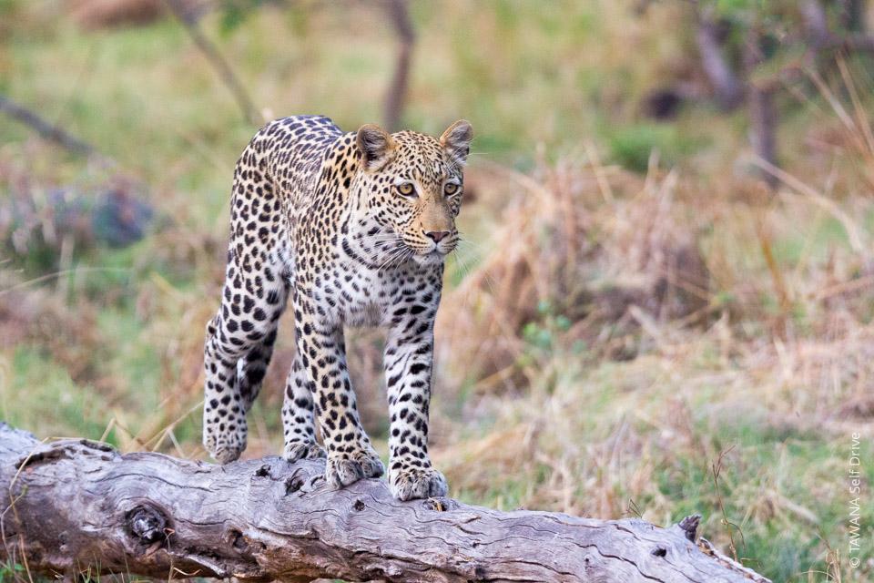 Safari self drive en 4x4 : léopard dans la réserve de Moremi