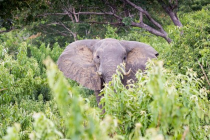 Safari Big Five au Botswana : l'éléphant