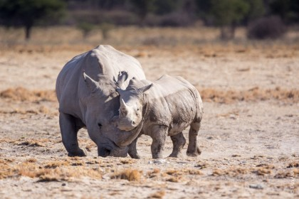 Safari Big Five au Botswana : le rhinocéros