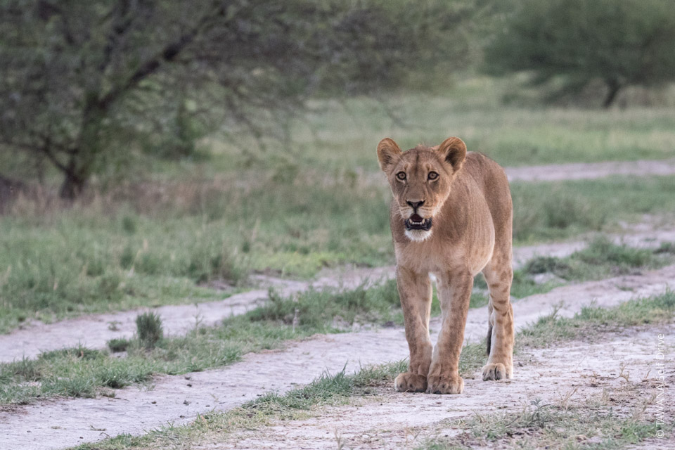 Road trip in Botswana and Namibia: lion at Nxai