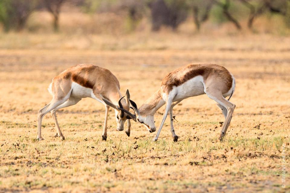 Self-drive safari in the Kalahari: Nxai Pan