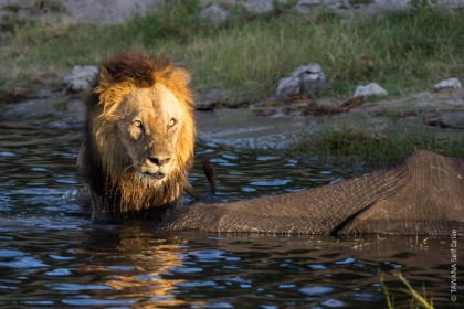 Safari Big Five au Botswana : le lion