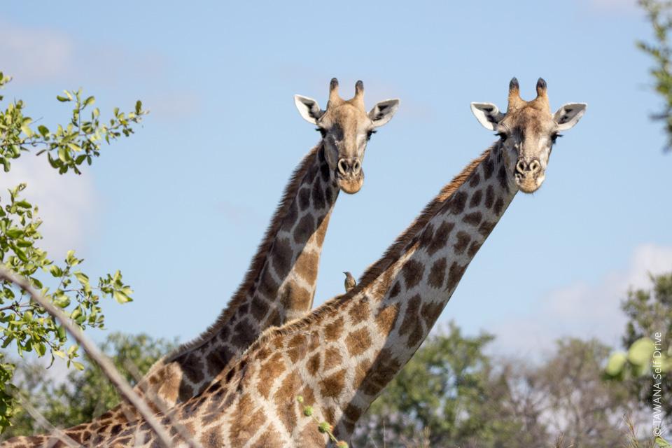 Circuit 4x4 self drive au Zimbabwe : girafes de Hwange