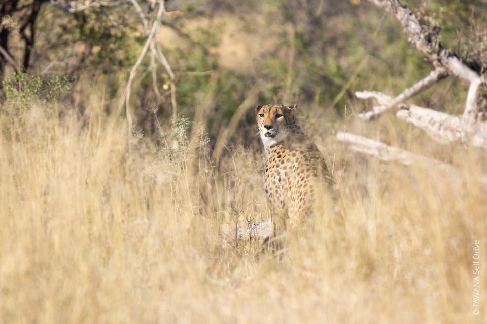 Caprivi en self drive : guépard à Nkasa Rupara